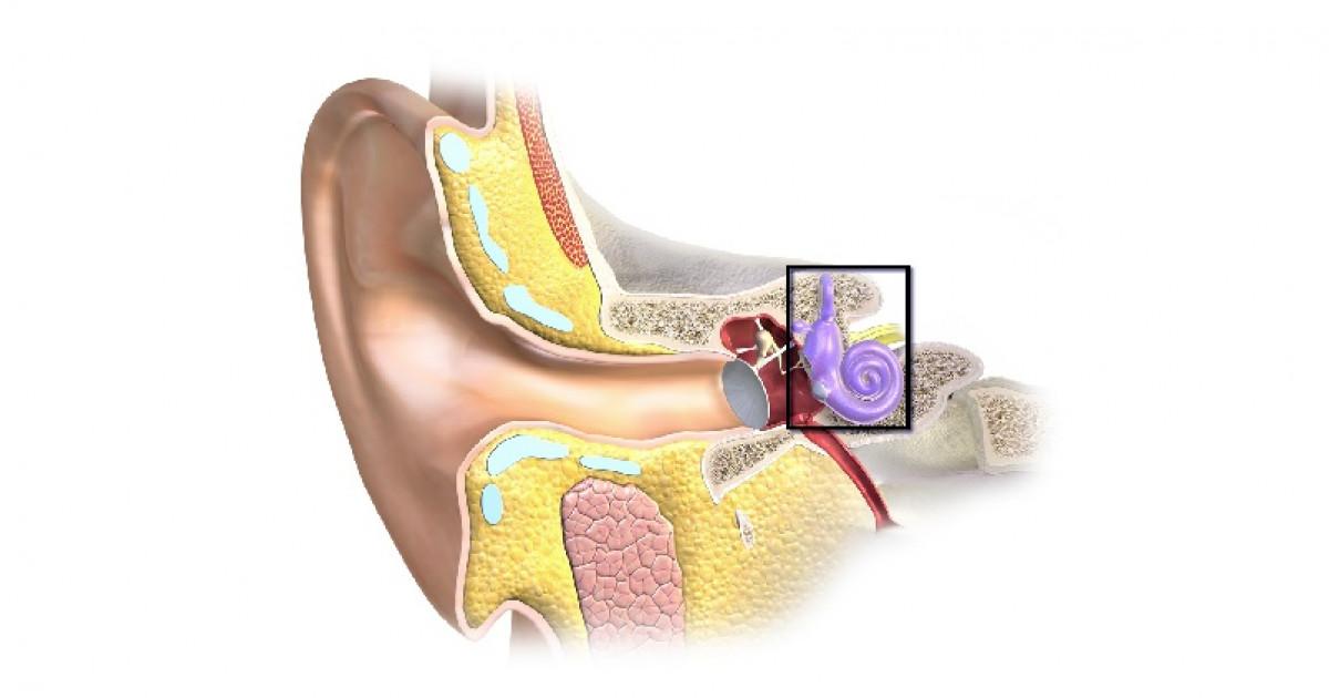 Las 10 partes del oído y el proceso de recepción del sonido