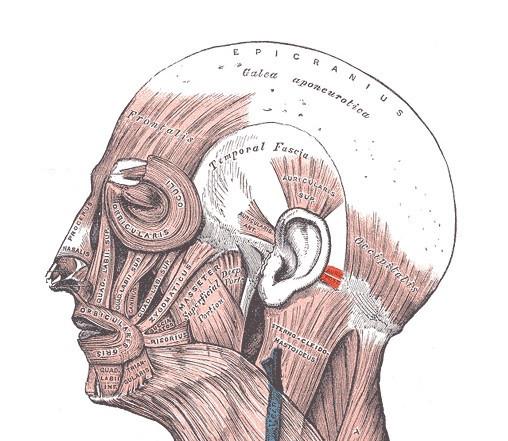 Músculo auricular posterior
