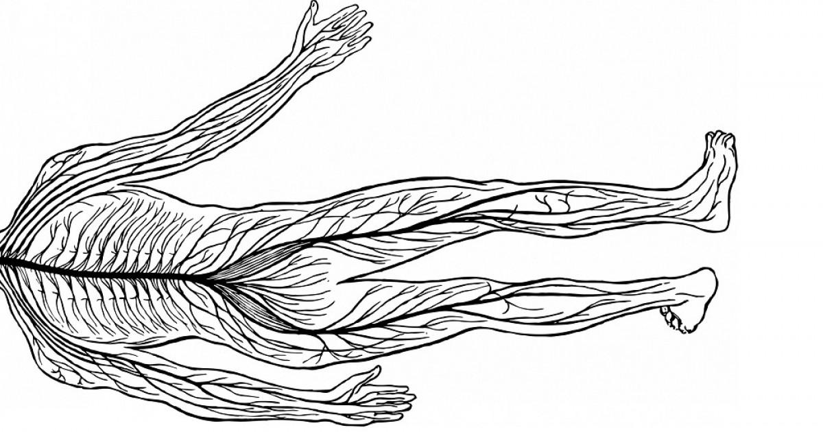 El Sistema Nervioso Periférico Autónomo Y Somático
