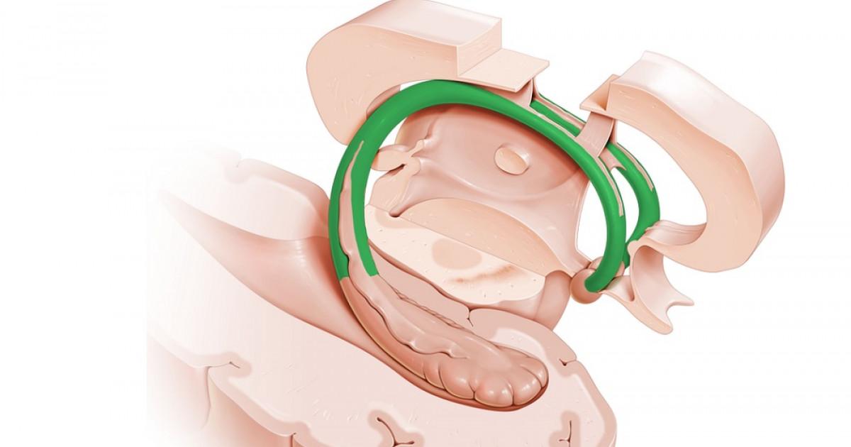 Fórnix (o trígono cerebral): anatomía y funciones