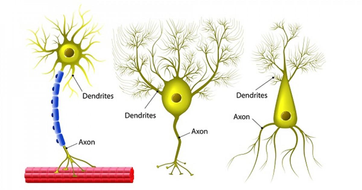 Neuronas Multipolares Tipos Y Funcionamiento