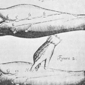Las 8 diferencias entre venas, arterias y capilares