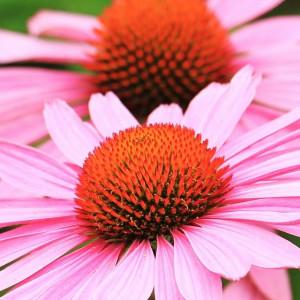 Equinácea: ¿cuáles son las propiedades y beneficios de esta planta?
