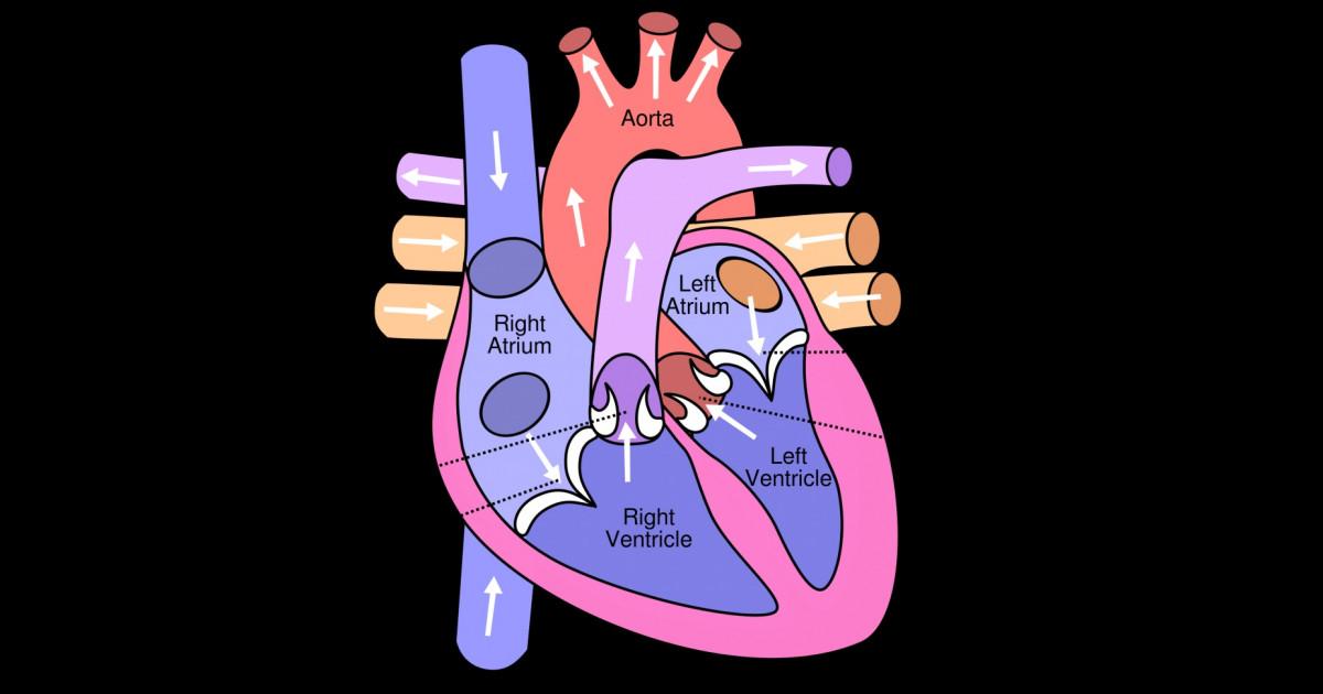 Las 13 partes del corazón humano (y sus funciones)