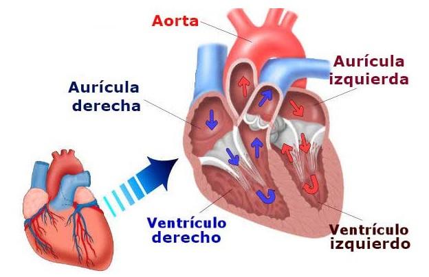 Las 13 Partes Del Corazón Humano Y Sus Funciones