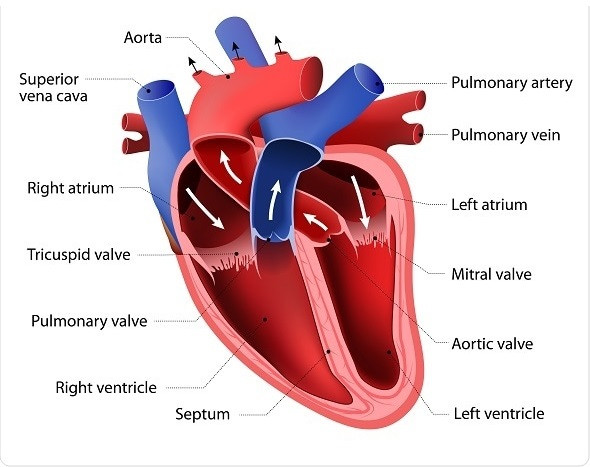 13 Parts Of The Human Heart And Its Functions Lorecentral