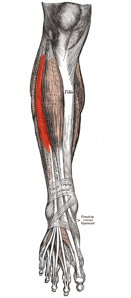 Músculo extensor largo de los dedos