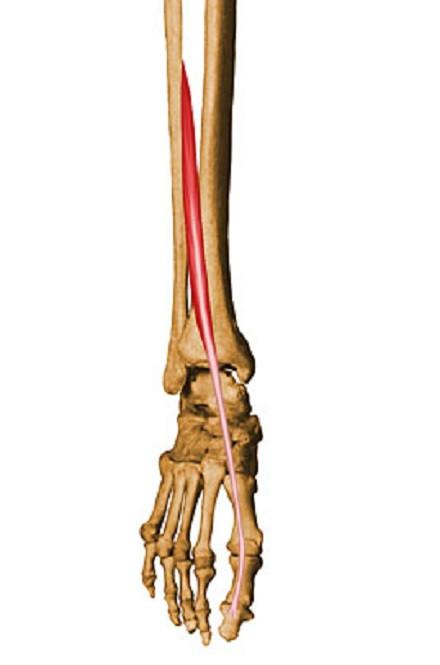 Músculo extensor del dedo gordo