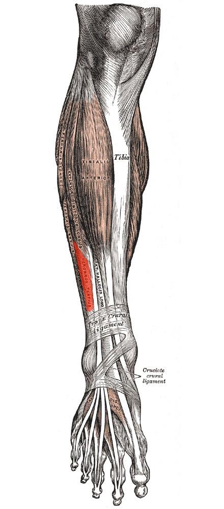 Músculo tercer peroneo