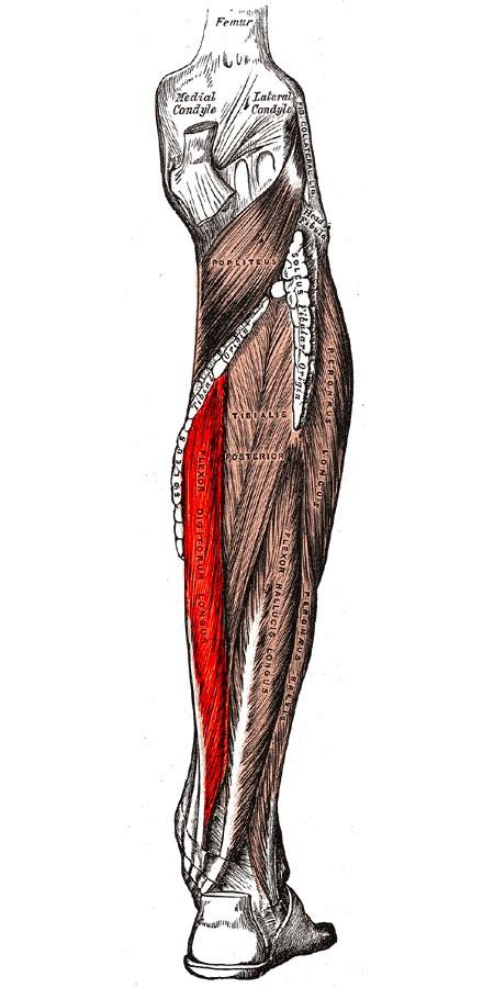 Músculo flexor largo de los dedos