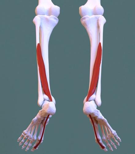 Músculo flexor largo del dedo gordo