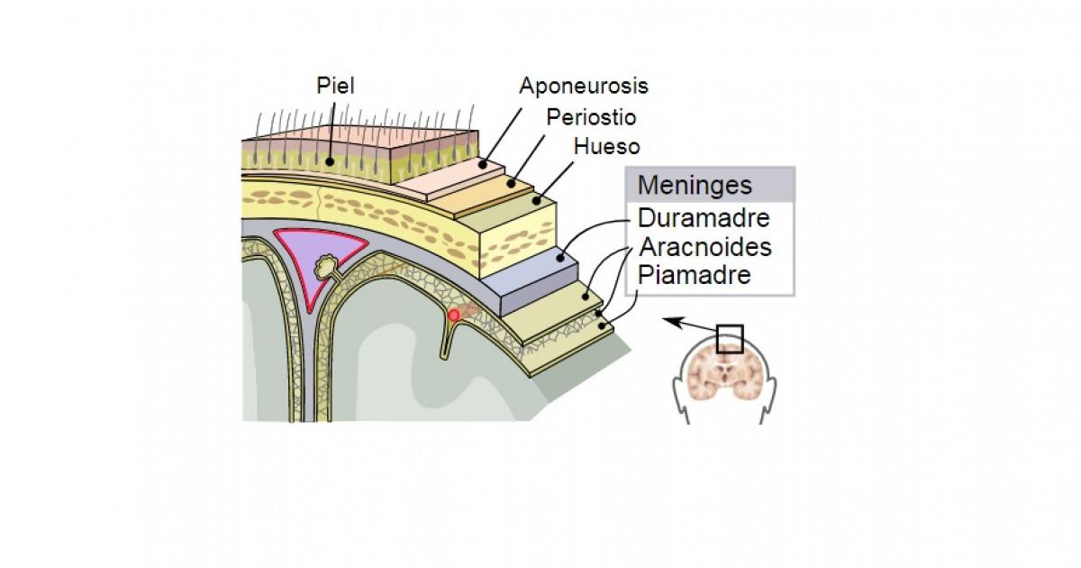 Piamadre (cerebro): estructura y funciones de esta membrana