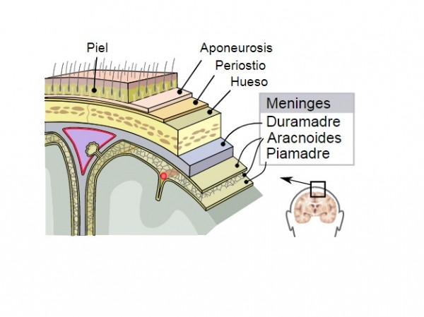 Piamadre Cerebro Estructura Y Funciones De Esta Membrana