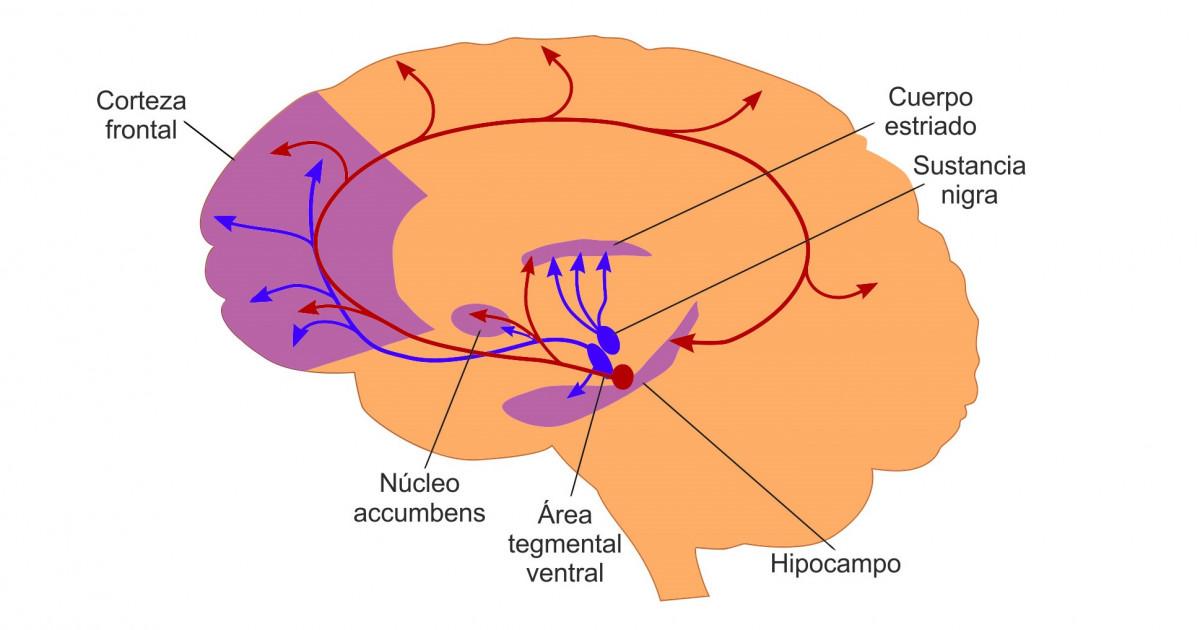 Vía mesolímbica (cerebro): anatomía y funciones
