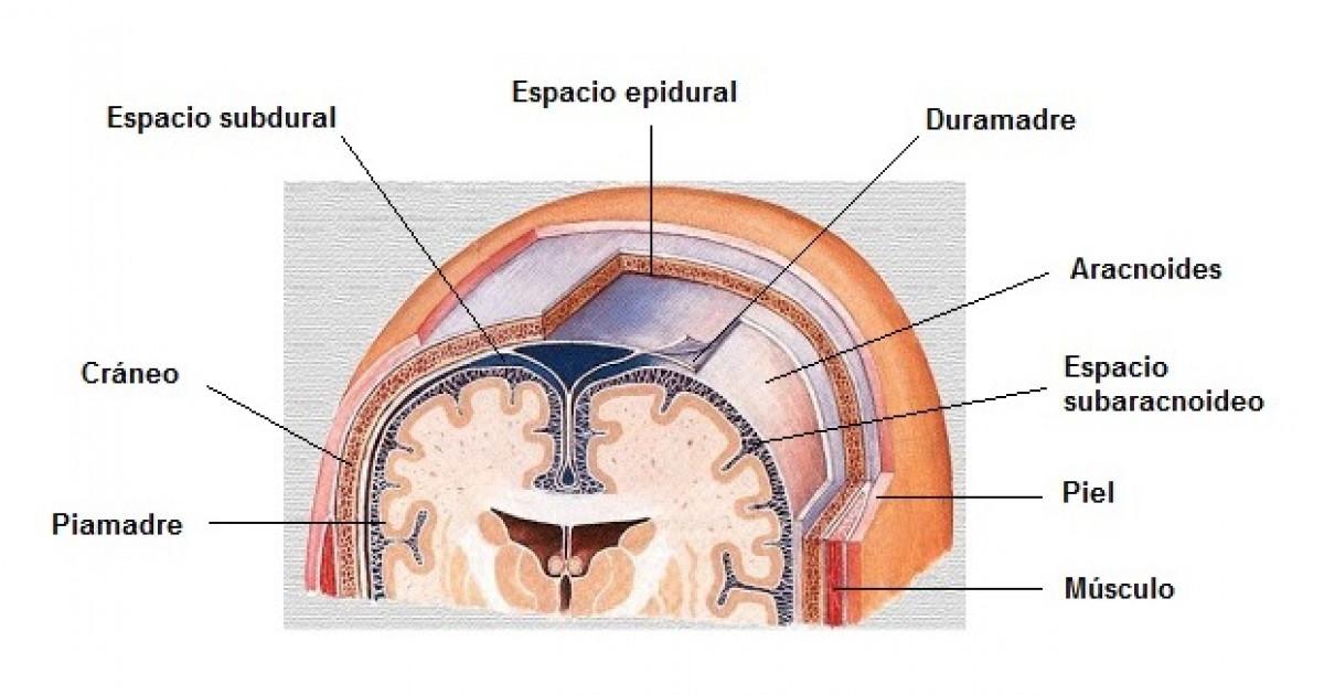 Aracnoides (cerebro): anatomía, funciones y trastornos