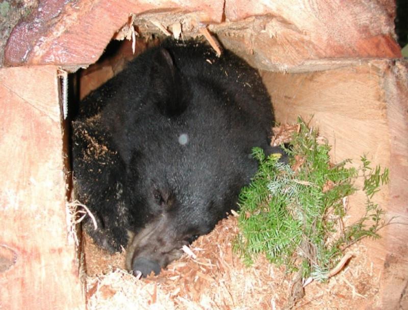 Animal hibernando