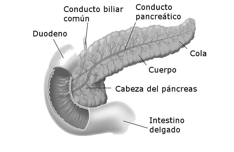 Partes del páncreas